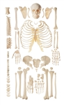 Unmounted Human Skeleton Model | Disarticulated Human Skeleton Model | SOMSO Unmounted Human Skeleton Model | SOMSO Disarticulated Human Skeleton Model
