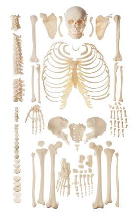 SOMSO Unmounted Human Skeleton Model - QS40-1