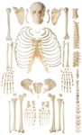 SOMSO Unmounted Human Skeleton Model - Exception of the Skull - QS40-2