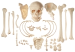 SOMSO Collection of Typical Human Bones - QS42