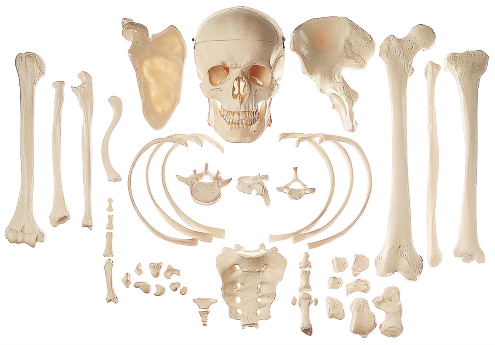 somso collection of typical human bones, Human Body