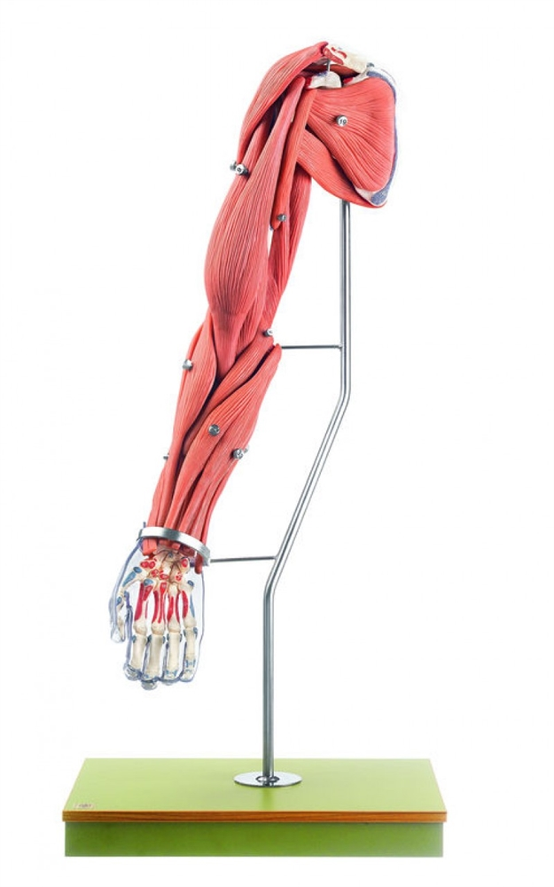 Somso Model Of The Arm Muscles