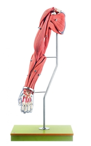 Model of the Arm Muscles | Arm Muscles model | SOMSO Model of the Arm Muscles