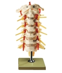 SOMSO Cervical Vertebral Column Flexible with Spinal Cord
