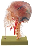 SOMSO Neuroanatomy Head Model