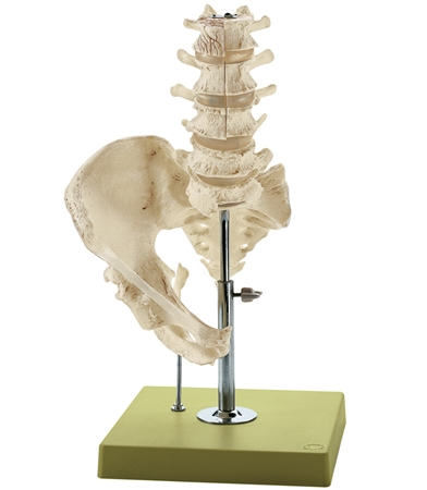 SOMSO Model of the Lumbar Spinal Column - without Innervation - QS66-3