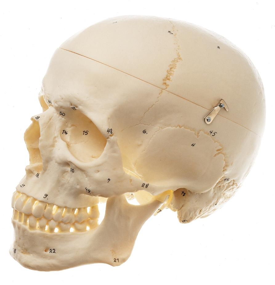 Somso Artificial Human Skull Model 3 Parts English And Latin