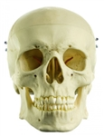 SOMSO Life-like Artificial Human Skull, 3-Part - QS7