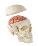 somso artificial human skull with brain model
