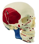 SOMSO Model of the Artificial Human Skull - Muscles of the Head - QS7-5