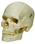 SOMSO Numbered Female Skull with Movable Lower Jaw, 3 Parts - QS7-6-1