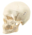 SOMSO Female Skull With Movable Lower Jaw, 3 parts - QS7-6