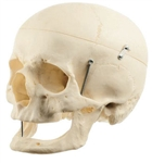 SOMSO Model of the Artificial Human Skull of an old man - QS7-7