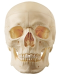 SOMSO Artificial Human Skull - 5 Parts