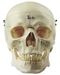 SOMSO Artificial Human Skull - 9 Parts