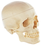 SOMSO Artifical Skull, Lower Jaw Movable - QS7-E