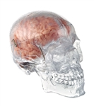 somso transparent human skull with brain model