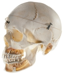 SOMSO Artificial Skull of an Adult