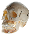 SOMSO Artificial Demonstration Skull of an Adult