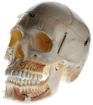 SOMSO Artificial Demonstration Skull with Notation
