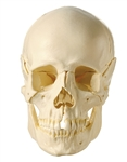 Model of the Skull | Model of the Human Skull | 14-Piece Model of the Skull | SOMSO 14-Piece Skull Model | SOMSO 14-Piece Model of the Human Skull | SOMSO 14-Piece Model of the Skull QS-8-2 | Buy SOMSO 14-Piece Model of the Skull QS-8-2 On Sale
