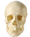 SOMSO 18-Pieces Model of the Skull - Disassemble