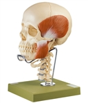SOMSO 18-Pieces Model of the Skull w/ muscles of mastication