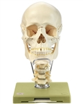 SOMSO Model of the Skull QS-8-2-C | Skull Model with Cervical Vertebral Column and Hyoid Bone