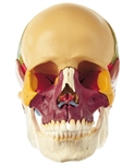 SOMSO 18-Pieces Model of the Skull - Didactic Colored