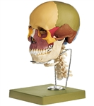 SOMSO Skull Model with Cervical and Hyoid Bone, 14-part - QS8-3C
