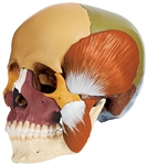 SOMSO 14-Pieces Model of the Skull with muscles of mastication - colored
