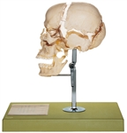 SOMSO Artificial Bauchene Skull of an Adult | SOMSO Artificial Bauchene Skull of an Adult QS-9