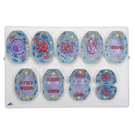 Mitosis Model - Cell and Genetics - R01-1