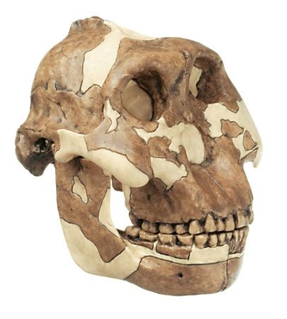 Skull of Paranthropus Boisei |  SOMSO Reconstruction of a Skull of Paranthropus Boisei S-1 | Skull Model of Paranthropus Boisei | Anthropological Model of the Paranthropus Boisei Skull | Anthorpological Skull Model of Paranthropus Boisei On Sale
