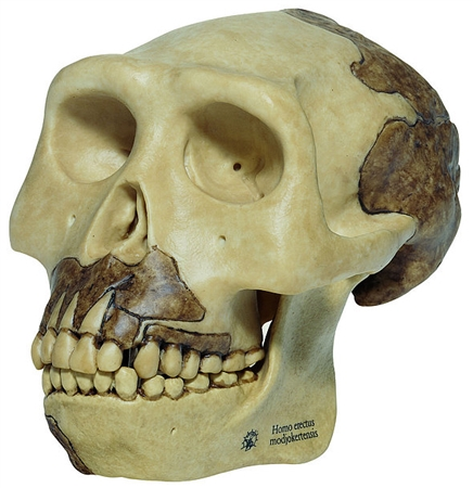 SOMSO Reconstruction of a Skull of Homo Erectus - S2