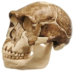 SOMSO Reconstruction of the Skull of Homo Ergaster | Skull Model of Homo Ergaster S-2-3733