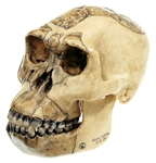 SOMSO Reconstruction of the Skull of Homo habilis (O.H. 24) - S3-1