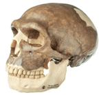 Anthropological Skull Model of Homo Sapiens Neanderthalesis | Skull Model of Homo Sapiens Neanderthalesis