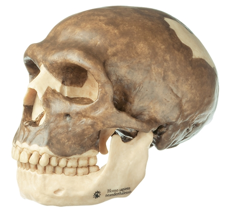 SOMSO Reconstruction of a Skull of Homo Sapiens Neanderthalensis - S3