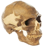 Homo Sapiens Skull Model | SOMSO Skull of Homo Sapiens | SOMSO Reconstruction of the Skull of Homo Sapiens | SOMSO Homo Sapiens Skull Model  | SOMSO Reconstruction of the Skull of Homo Sapiens S-4