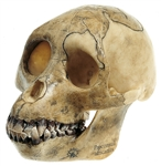 SOMSO Reconstruction of the Skull of Proconsul Africanus - S5-1