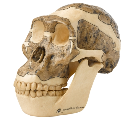 SOMSO Reconstruction of a Skull of Australopithecus Africanus - S5