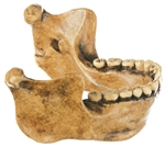 Mauer Near Heidelberg  lower Jaw | Mauer Near Heidelberg  lower Jaw Model | SOMSO lower Jaw Model of Mauer Near Heidelberg | SOMSO Lower Jaw from Mauer Near Heidelberg  S-6 | SOMSO Mauer Near Heidelberg  Lower Jaw Model  On Sale