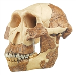 SOMSO Reconstruction of Australopithecus Afarensis | SOMSO Australopithecus Afarensis Skull Model S-7
