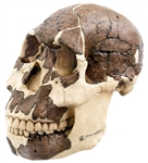 SOMSO Reconstruction of the skull of Homo rudolfensis - S8