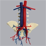 lumbar spine model with aorta and vena cava