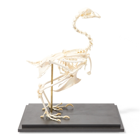rigidly mounted chicken skeleton model