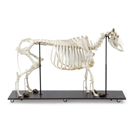 Real Bovine Skeleton with Horns - T300121W