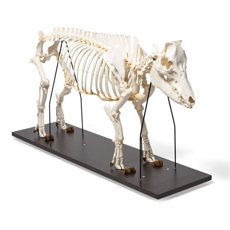 Domestic Pig Skeleton (Sus scrofa domesticus), Male, Specimen