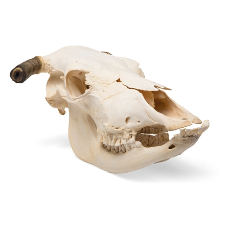 Real Bovine Skull with Horns, Specimen - T300151W